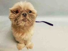 SUPER URGENT 07/30/16 Manhattan Center MATISSE – A1083385 NEUTERED MALE, TAN, SHIH TZU MIX, 6 yrs STRAY – ONHOLDHERE, HOLD FOR ID Reason STRAY Intake condition UNSPECIFIE Intake Date 07/30/2016, From NY 10458, DueOut Date 08/06/2016,