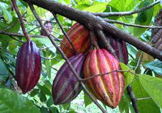 Reviving Puerto Rico's Cocoa Farms, Centuries After Hurricanes Destroyed Them : The Salt : NPR
