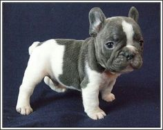 Such a cute French Bulldog. I want one to keep my Boston a Terrier company!.....   Zo mooi