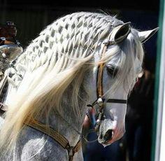 Andalusian horse with beautiful braided mane, well, cool designed mane.