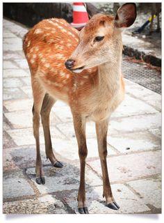 Petit daim, Nara