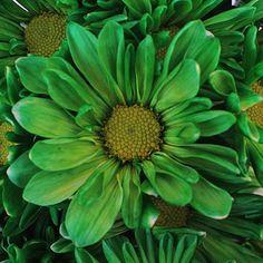 FiftyFlowers.com - Green Bulk Daisy Flower