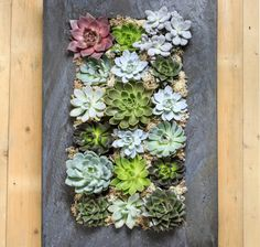 The Urban Botanist's Living Wall Planters are an amazing new edition to the collection. Stunning and unique pieces of living art to enhance any space.Crafted from beautiful lightweight zinc, the metal frame provides a striking contrast to 18 hand picked succulents as well as preserved Reindeer Moss. This stunning Living Wall Planter is designed to be displayed on a wall using the hooks on reverse. As each living wall is totally unique, plants may differ from those shown. The Living Wal...