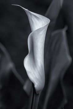 Calla Lily in BW by Belinda Greb. For sale at http://fineartamerica.com/featured/calla-lily-no-2-bw-belinda-greb.html