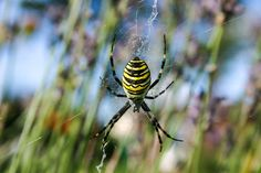 "A wasp spider in our garden - luckily it's just 2,5cm ""huge""..."