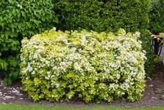 Flowering Shrubs | Spring flowering shrub Choisya ternata Sundance, yellow foliage with ...