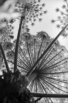de Suisse Lausanne, Agapanthus, Allium, Queen Art, Queen Annes Lace, Cool Eyes, Monochrome, Sculpture, Black And White
