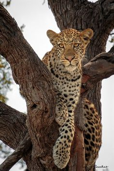 Young leopard relaxing up a tree branch in Kings pool, Linyanti, Botswanaby Will Goodlet