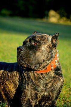 Cane Corso Italian Mastiff, Cane Corso Mastiff, Cain Corso, Cane Corso Kennel, Pitbull Mastiff, Presa Canario, Big Dogs, Kane Korso, Dog Breeds