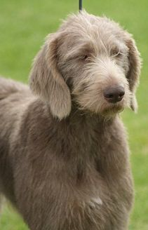 Slovakian Rough-haired Pointer