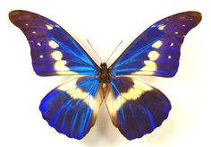 Supplies for taxidermy artworks - dried insects - : One beautiful morpho rethenor helena , folded not spread ,UNMOUNTED Butterfly Painting, Butterfly Frame, Butterfly Dragon, Monarch Butterfly, Morpho Butterfly, Blue Morpho, Butterfly Template, Beautiful Creatures, Animals Beautiful