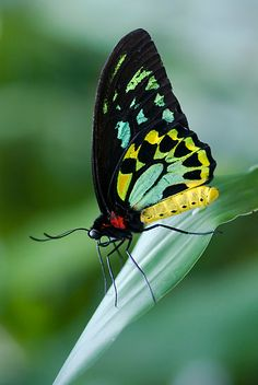 ~~ Cairns Birdwing Butterfly by Jenny Dean~~