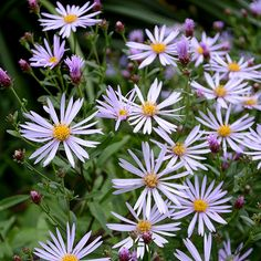 Aster amellus `Axel Tallner´ - Grönt Kulturarv Flower Beds, Flowers, Aster, Nature, Planters, Garden, Plants