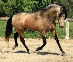 Lusitano stallion, sooty buckskin. photo: Laurie Neron.