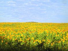 Maremma...sunflower fields