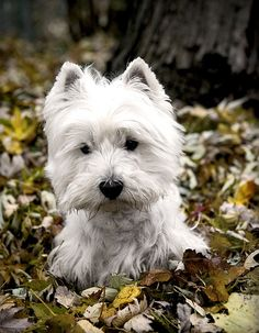 All about the wheaten Scottish Terrier | Scottish Terrier and Dog News