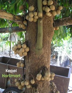 Stelechocarpus burahol known as kepel fruit, kepel apple or burahol is an…