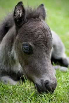 "American Miniature Horse by Supervliegzus, via Flickr.    ""His name is Wind dancer, at 7 days old.  He has a real gentle personality and is a joy to watch.""   via Rosalia Casas"