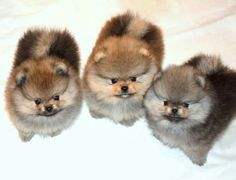 Three pom pups!