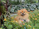 Good ole Buddy! Pomeranian.