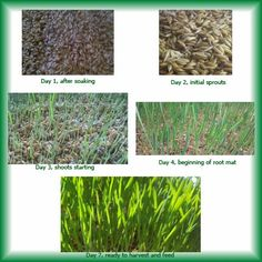 Growing Fodder for your Farm Animals