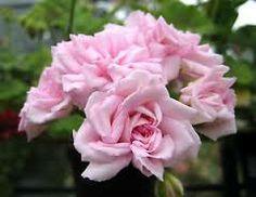 millfield rose