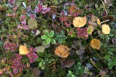 Autumn colours in Ruka-Kuusamo, Lapland, Finland. Lapland Finland, Autumn Colours, Spring, Nature, Flowers, Plants, Color, Naturaleza, Colour