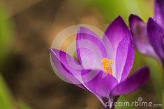 Spring in a garden. Blooming crocus.