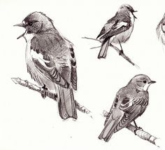 bird #Bird #sketch