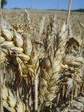 La Conf' veut libéraliser le marché des semences