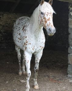 tickled-fancy - Pretty Appaloosa from Patti Calhoun on. Most Beautiful Horses, All The Pretty Horses, Animals Beautiful, Cute Animals, Cute Horses, Horse Love, Wild Horses, Horses And Dogs, Paint Horse