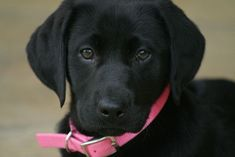 Izzy - Black Lab #Puppy by uptonia, via Flickr #labradorretriever