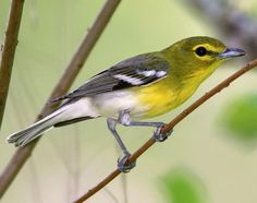 Yellow-throated Vireo seen in the back yard after adding new feeder