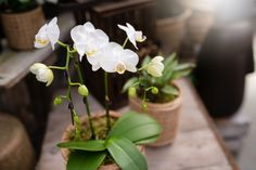 A gem, this white Phalaenopsis orchid looks right at home in a wicker bamboo-inspired pot and covered in moss. Natural, and zen, we think this planter will fit into any room and bring a sense of calm along with it. Orchids at West Coast Gardens in Surrey BC www.westcoastgardens.ca #orchids Orchid Centerpieces, Centrepieces, Phalaenopsis Orchid, Orchids, Jewel Orchid, Chinese New Year Gifts, Lucky Plant, Orchid Care, Indoor Planters