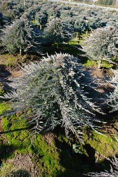 Evergreens On Pinterest Evergreen Blue Spruce And Norway