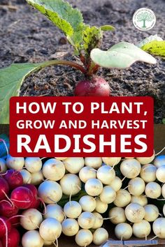Radishes are an excellent veggie to grow for the beginner gardener. You can even do it indoors, in pots.