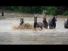 Race Horses swim for survival Australia, South East Queensland, Diamond Valley Road Floods Horses stranded and forced to swim across flooded paddocks. Amazing footage trying to save them and their dash for survival. On January 11th 2011.