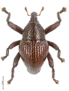 Trigonopterus attenboroughi - one of 98 new species of wingless beetles found in Indonesia! 98 Never-Before-Seen Beetle Species Discovered in Indonesia Beetle Insect, Beetle Bug, Borneo, Spirals In Nature, Bbc Two, David Attenborough, List Of Animals, Animal Species, Bugs And Insects