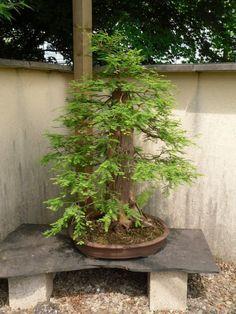 959 Best Shohaku Bonsai 2 松柏類盆栽 Images On Pinterest In 2018