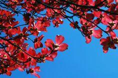Cornus florida 'Indian Chief' Red Dogwood