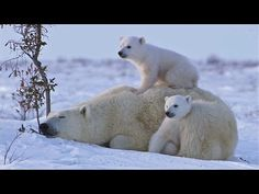 Polar Bear Mom Snuggles With Her Cubs In the Arctic Snow of Manitoba, Canada