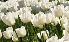 white tulips flower White Tulips, Tulips Flowers, Sugar Flowers, Home Vegetable Garden, Home And Garden, Types Of White Flowers, What Are Weeds, Gardening Zones, Tulips Garden