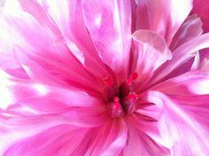 Naturlig erotikk! Hagens eldste og vakreste pion åpenbarer seg. Rose, Garden, Flowers, Plants, Pictures, Nature, Photos, Pink, Garten