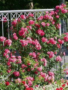 Розы: посадка и уход в открытом грунте плетистых и штамбовых роз, хранение саженцев зимой