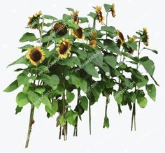 Sunflowers, Photoshop, Landscape, Plants, Scenery, Plant, Corner Landscaping, Sunflower Seeds, Planets