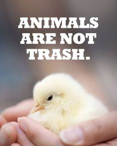 male chicks are routinely killed in the cruel egg industry; go #vegan