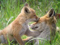 Ezo red fox(Vulpes vulpes schrencki )キタキツネ