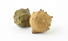 Oak gall This medieval ink starts with a wasp. In spring it punctures the soft young buds of the oak tree and lays its eggs. The tree forms little nut-like growths around the wasp holes – and it is these protective oak galls which, when crushed and fermented, created the basis of a deep black drawing ink of the Middle Ages.