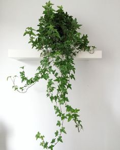hedera helix english ivy air purifying house plants clean air plants plants heal - All For Herbs And Plants Ivy Plants, Foliage Plants, English Ivy Indoor, English Ivy Plant, Ivy Plant Indoor, Common House Plants, Air Cleaning Plants, Hedera Helix, Gardens