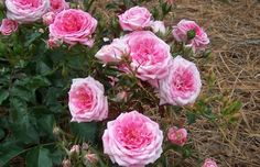 Sweet Drift Rose has huge amounts of fragrant light pastel pink double blooms from spring til frost. Has the best, tightest double blooms of all the Drift Series! Partial Shade Flowers, Colorful Flowers, Beautiful Flowers, Ground Cover Roses, Rose Plant Care, Drift Roses, Foundation Planting, Types Of Roses, Shrub Roses